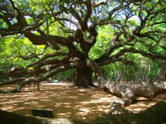 Как вырастить дуб из желудя в домашних условиях?