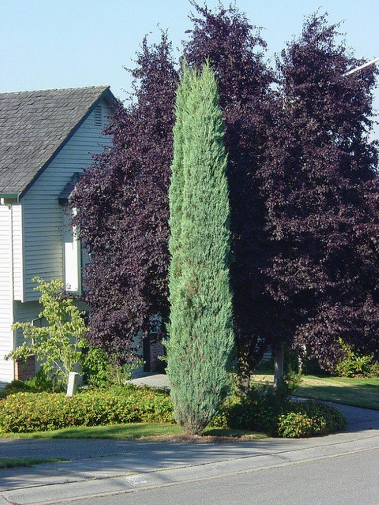 Blue Arrow (Juniperus Scopulrum)