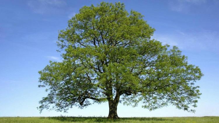 Проводник между мирами – ясень, фото дерева и листьев