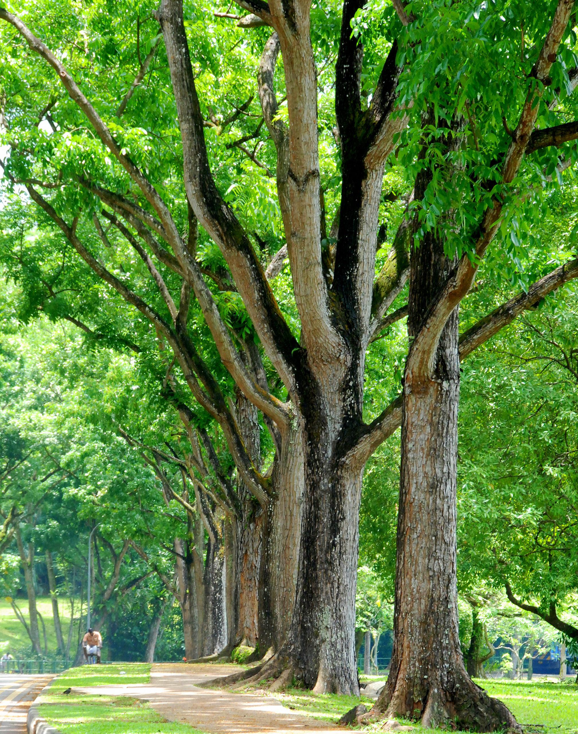 Деревья махагони.