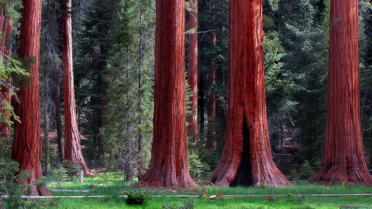 Красное дерево секвойя.