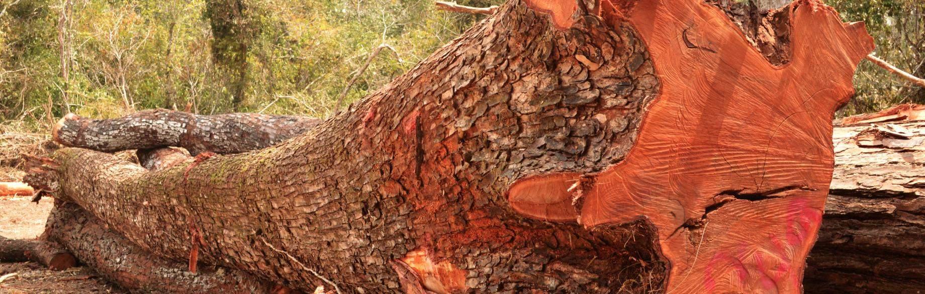 Красное дерево махагони.